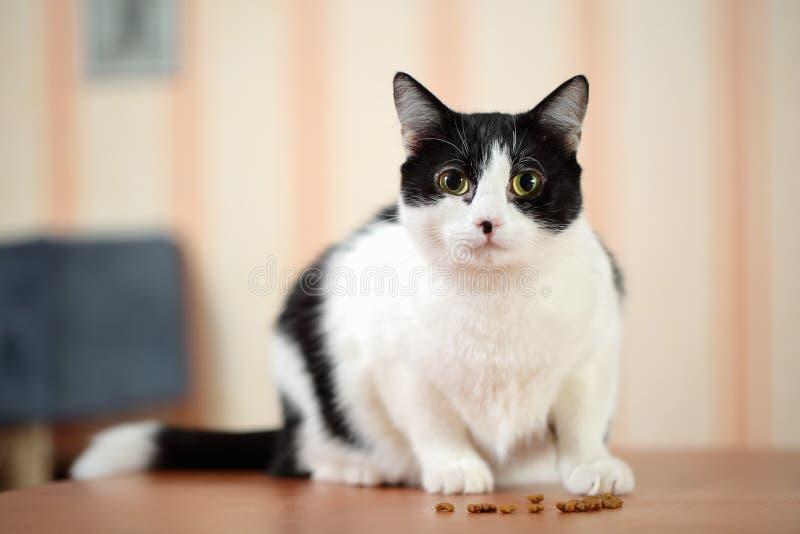 Härlig svartvit kvinnlig katt med den gulliga svarta fläcken på den rosa näsan som sitter på en tabell som är främst av torra mat arkivfoto