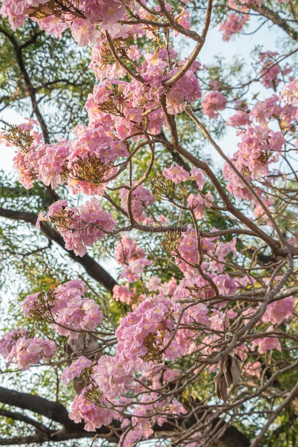 Härlig Tabebuia Rosea för selektiv fokus som blomma blommar i en trädgård Kallade också Rosa färg Poui, det rosa Tecoma och Rosy  royaltyfri fotografi