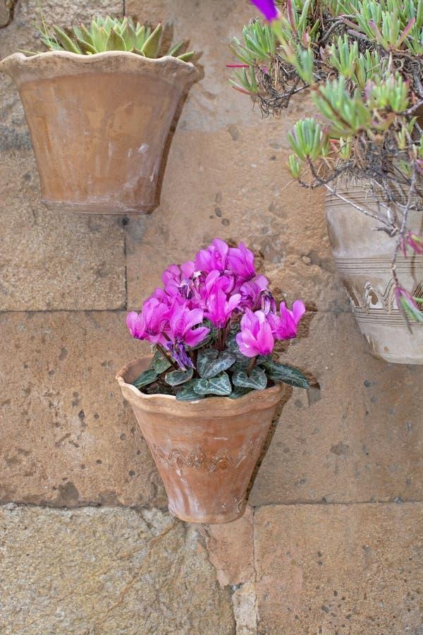 Härlig terrakottablomkruka med rosa cyklamenblommor royaltyfri bild