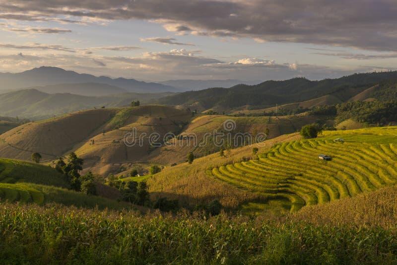 Härlig terrasserad risfält i plockningsäsong Mae Cham Chaingmai, Thailand royaltyfria foton