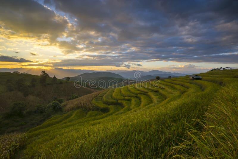 Härlig terrasserad risfält i plockningsäsong Mae Cham Chaingmai, Thailand royaltyfria bilder