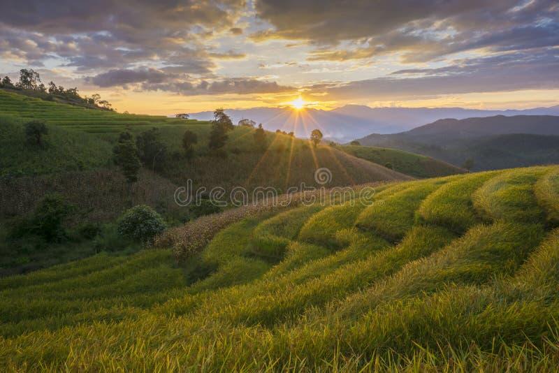 Härlig terrasserad risfält i plockningsäsong Mae Cham Chaingmai, Thailand fotografering för bildbyråer