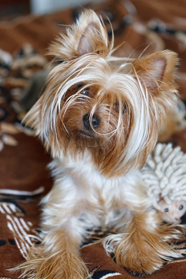 härlig terrier yorkshire royaltyfri foto