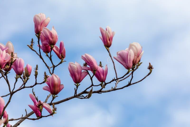 Härlig textur av magnolioblommor över blå himmel royaltyfri bild