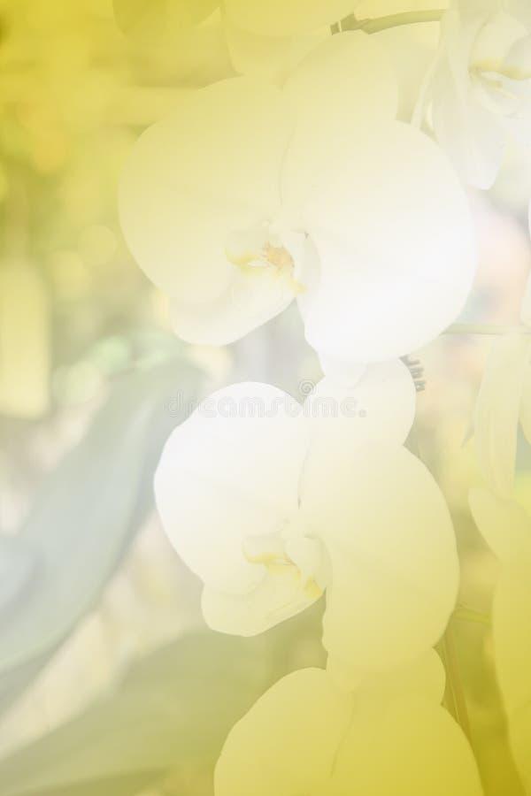 Härlig thailändsk orkidéblommabackround royaltyfria foton