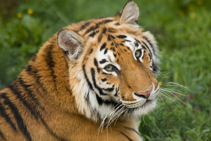 härlig tiger arkivbilder