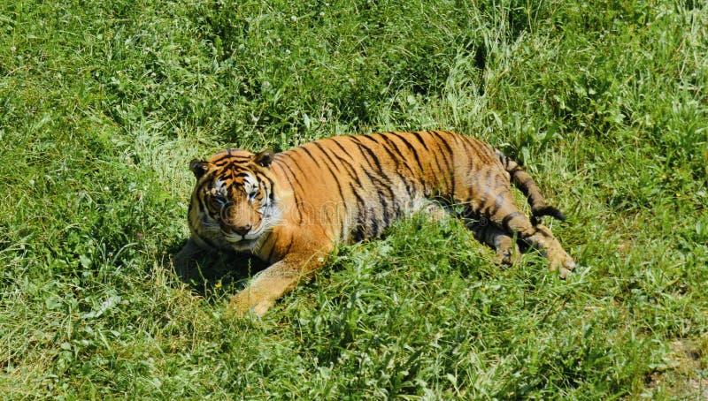 Härlig tiger i natur royaltyfri bild