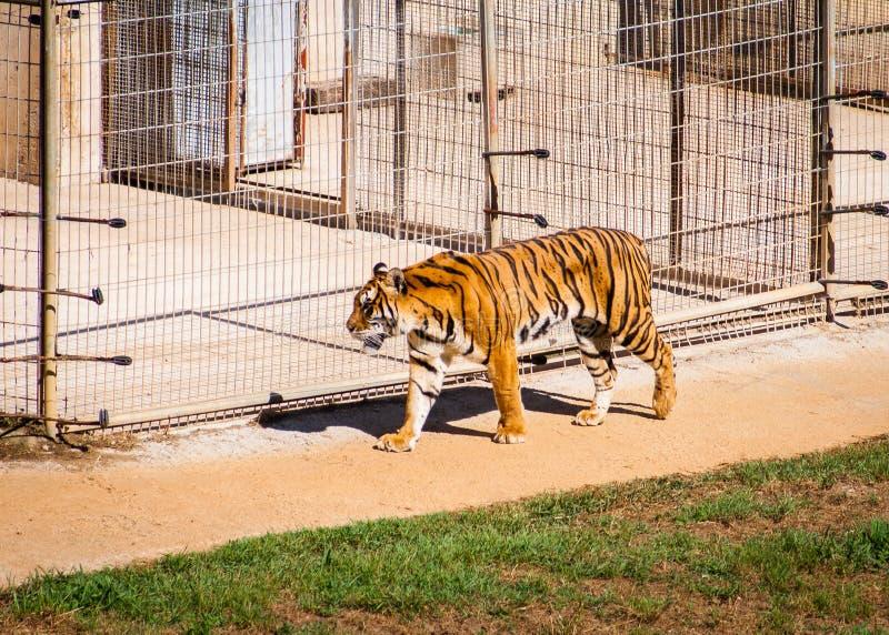 Härlig tigerPanthera tigris som går med en stor bur i bakgrunden arkivbilder