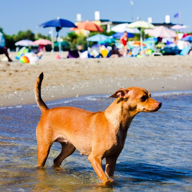 Härlig tillfällig hund som söker efter en väg att nå dess ägare i vattnet på en fri strand royaltyfria bilder
