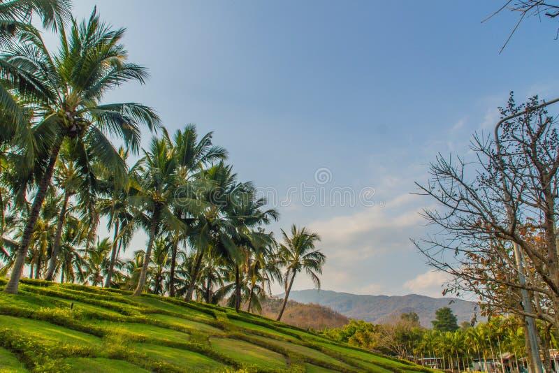 Härlig trädgårds- garnering med rader av kokosnötpalmträd med bakgrund för blå himmel och kopieringsutrymme för din text arkivfoto