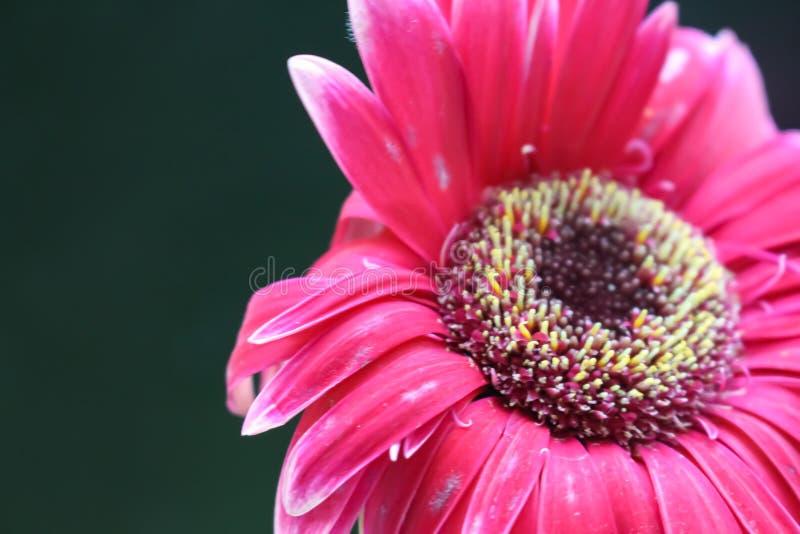 Härlig trädgårds- natur för Gerberablomma arkivfoton