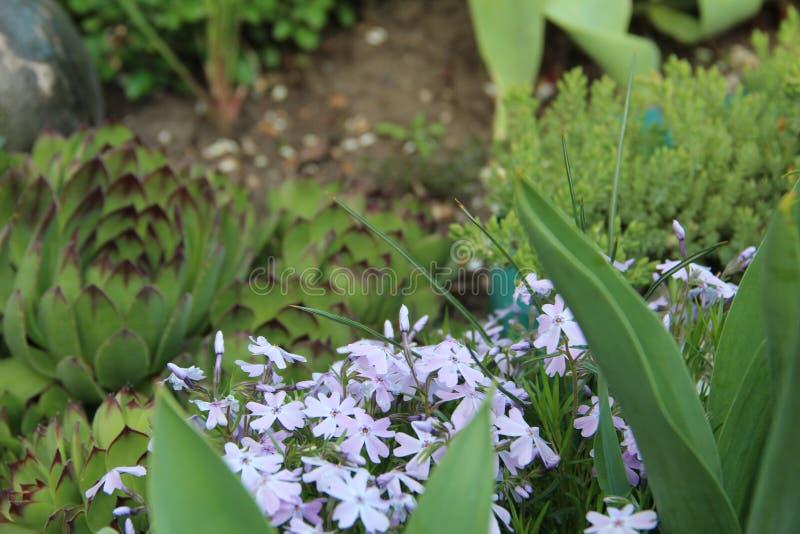 Härlig trädgårds- växt av mjuk färg arkivbild