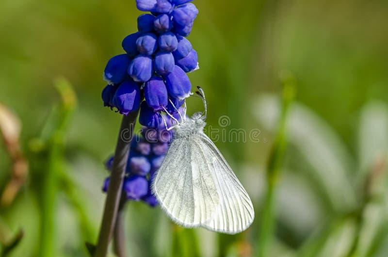 Härlig trävit som matar på den blåa blomman arkivfoto