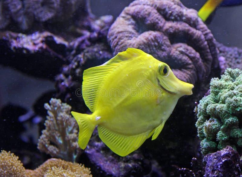 Härlig tropisk fisksimning i ett akvarium royaltyfri fotografi