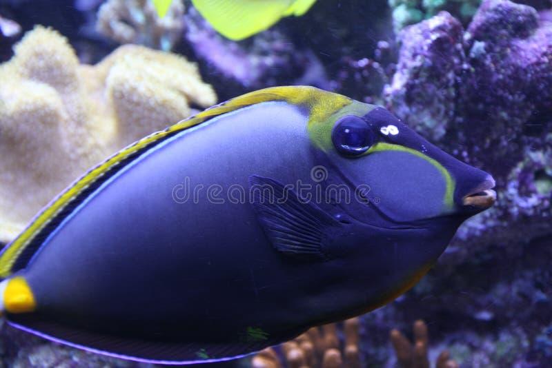 Härlig tropisk fisksimning i ett akvarium royaltyfria bilder