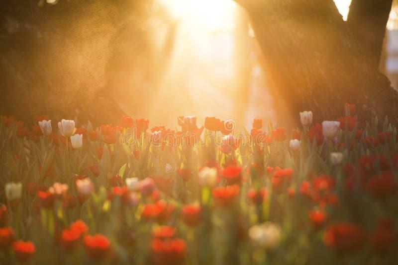 Härlig tulpanblomma under morgonsoluppgångbukett av tulpan f?rgrika tulpan Tulpan fj?drar in tid fotografering för bildbyråer
