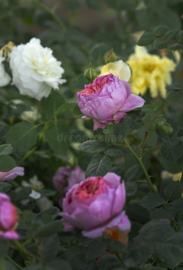 Härlig tvåfärgad rosa blommacloseup arkivbild