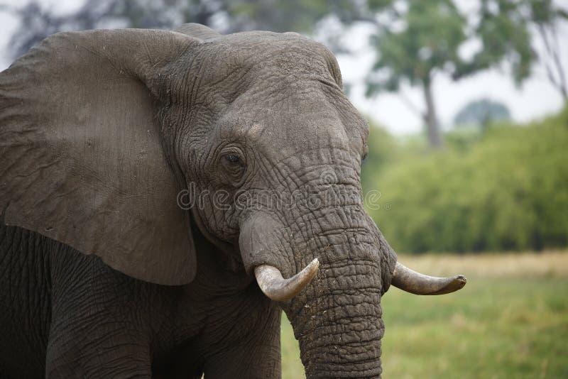 Härlig tyst elefant upp nära och lyckligt arkivfoton