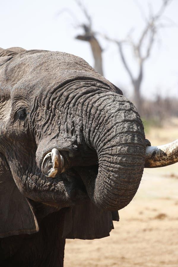 Härlig tyst elefant upp nära och lyckligt arkivfoto