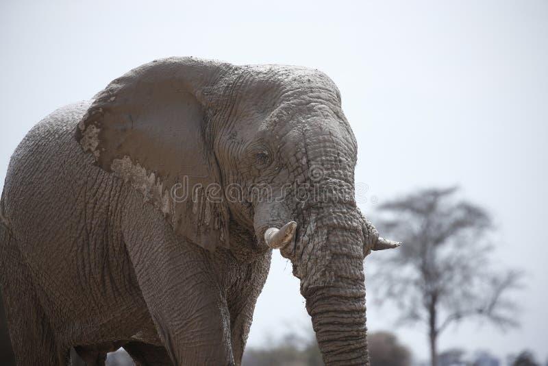 Härlig tyst elefant upp nära och lyckligt royaltyfria bilder