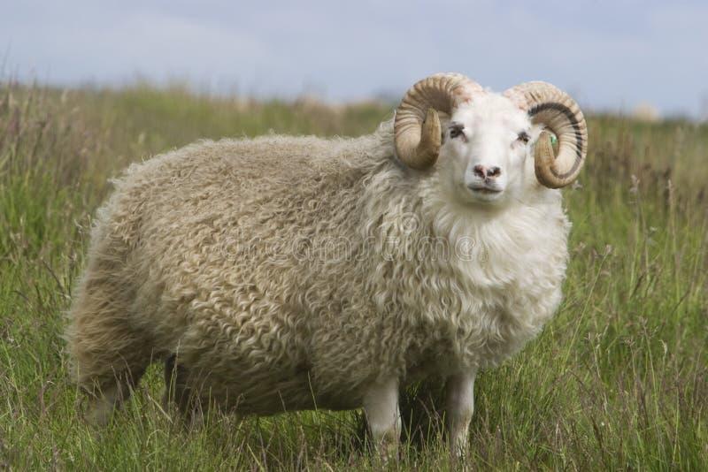 härlig ull för whit för bighornpälsRAM royaltyfria bilder