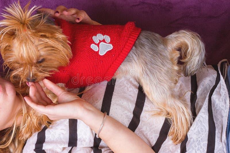 Härlig ung flicka som spelar med hennes hemmastadda lägga för yorkshire terrier ner royaltyfri fotografi