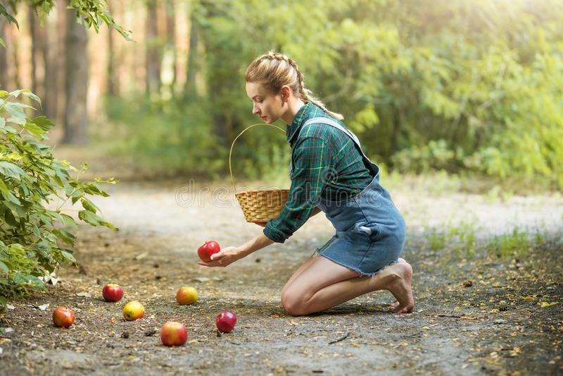 H?rlig ung kvinna som v?ljer mogna organiska ?pplen i en korg i tr?dg?rden eller p? en lantg?rd i en h?st- eller sommardag arkivbilder