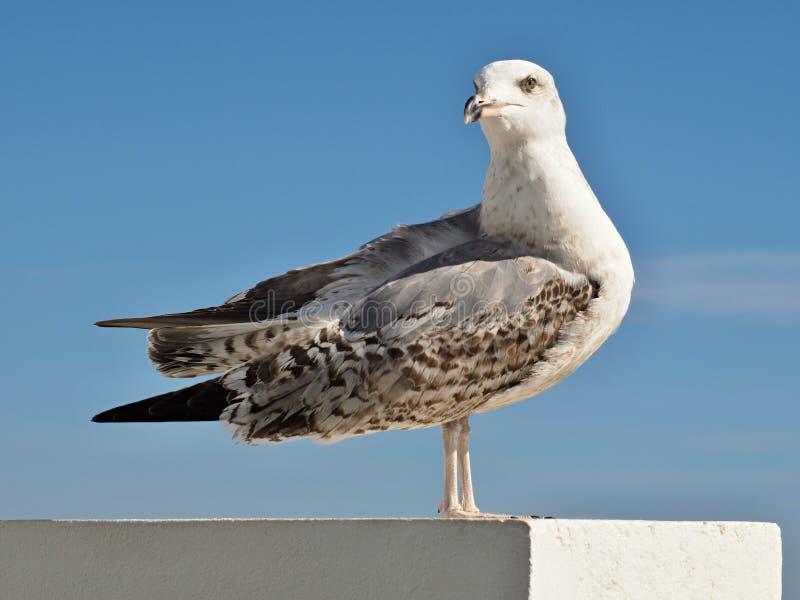 Härlig ung seagull framme av blå himmel arkivfoto