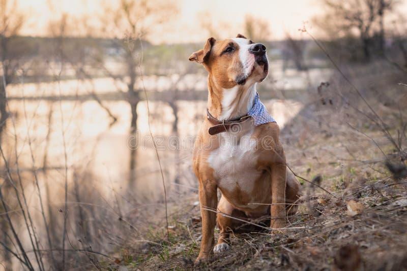 Härlig ursnygg staffordshire terrierhund med bandanaen royaltyfri foto