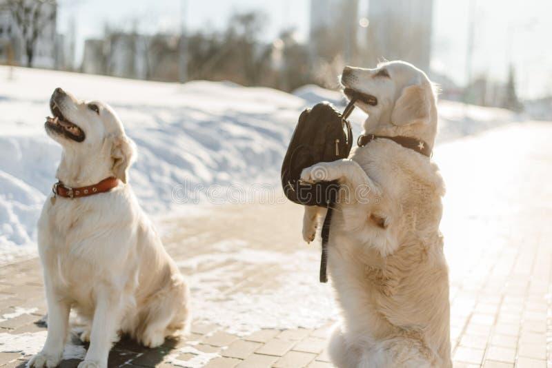 Härlig utbildning för labrador två royaltyfria bilder