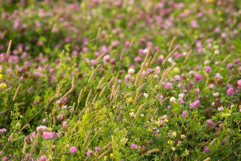 Härlig växt av släktet Trifolium för lösa rosa färger blommar, växter och closeupbakgrund för grönt gräs Utomhus- naturfoto arkivfoto
