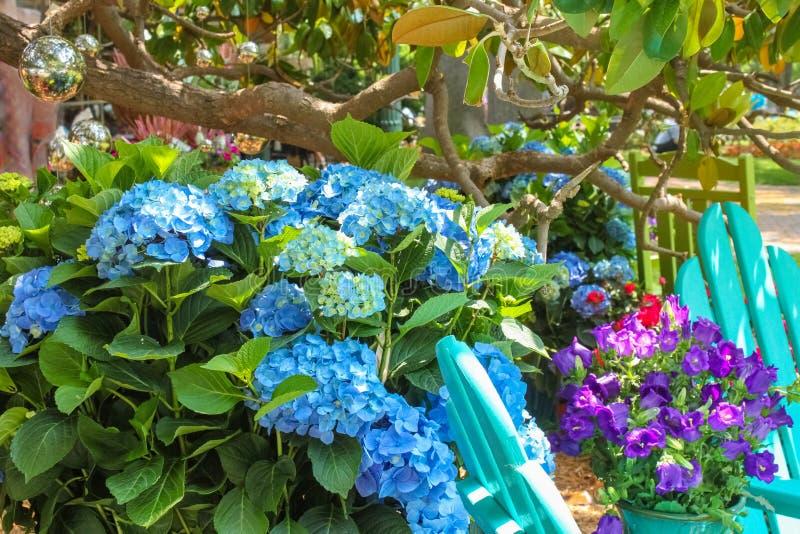 Härlig vår - livliga blåa vanliga hortensior med turkosadirondackstolar under ett magnoliaträd med spegelförsedda bollar som häng royaltyfria bilder