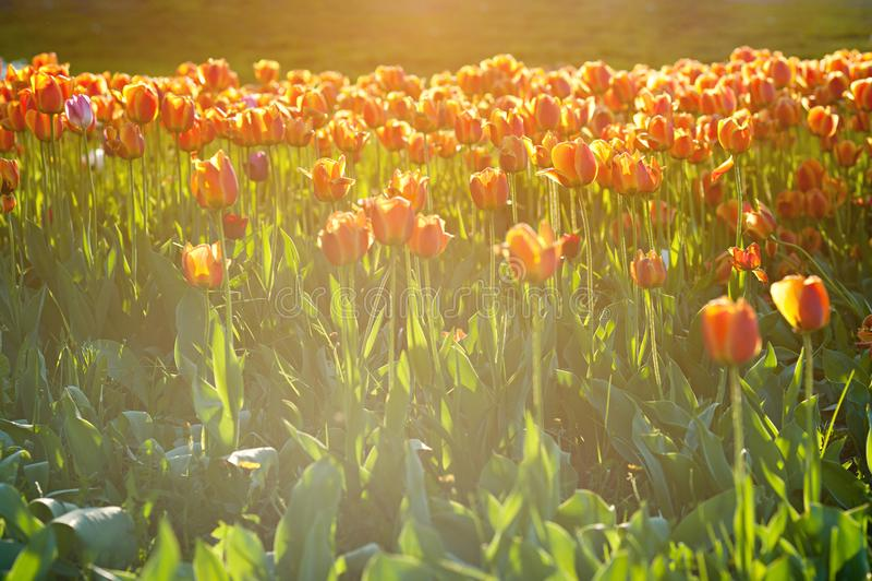 Härlig vårblommaapelsin och gulingtulpan i trädgård arkivbilder