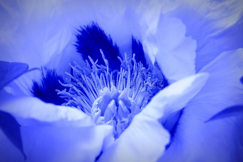 Härlig vårmodellbakgrund med blåttblomman Slut upp av pionblomman royaltyfri foto