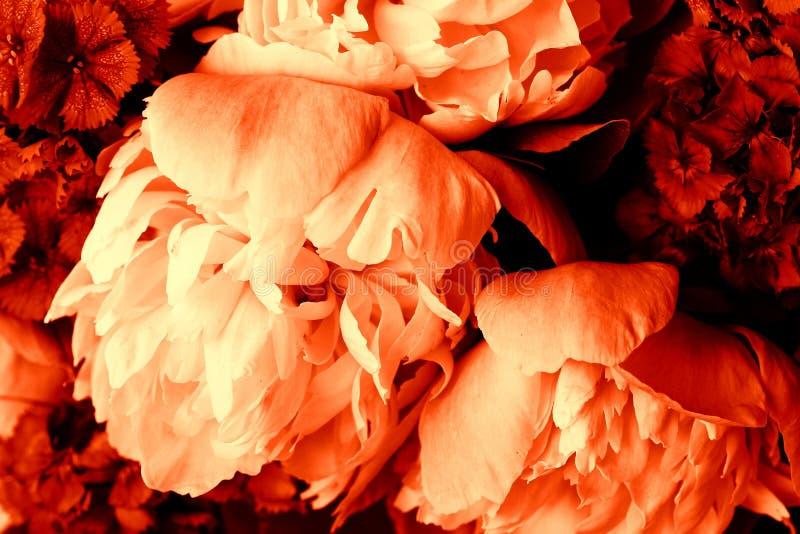 Härlig vårmodellbakgrund med den röda blomman Slut upp av pionblomman royaltyfri bild