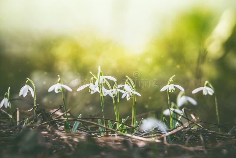Härlig vårnaturbakgrund med tidigt blomma för snödroppar royaltyfri fotografi