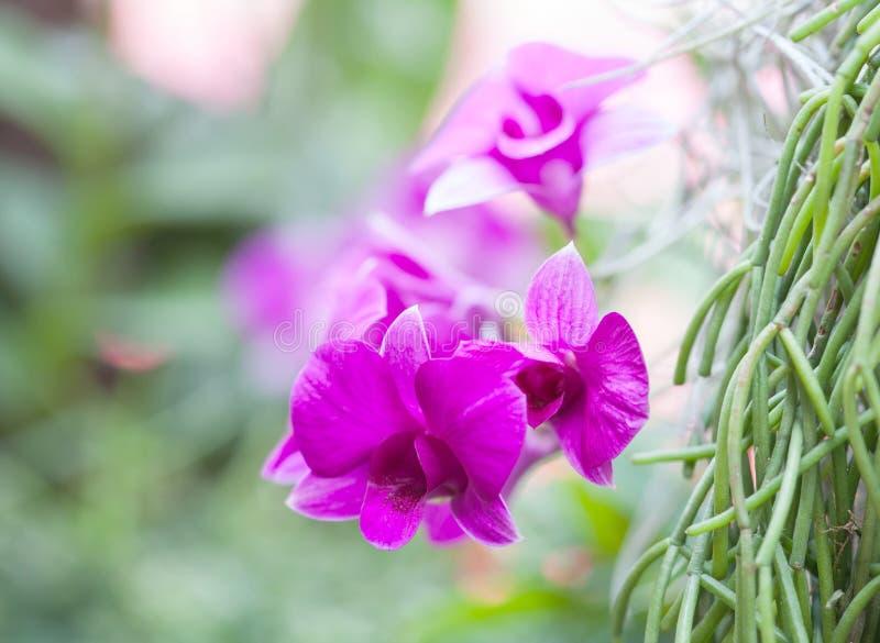 Härlig vibrerande rosa orkidé royaltyfria bilder