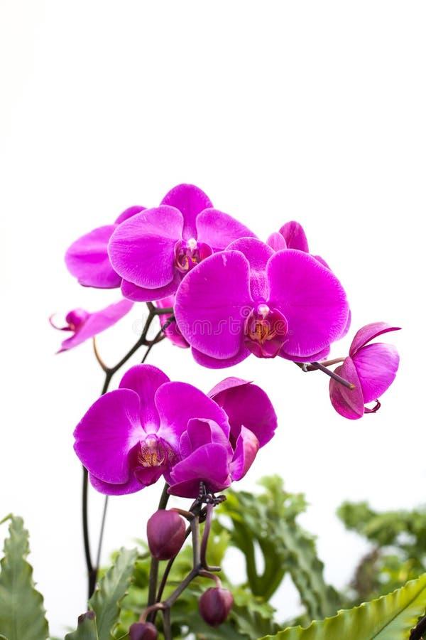 Härlig vibrerande rosa orkidé fotografering för bildbyråer