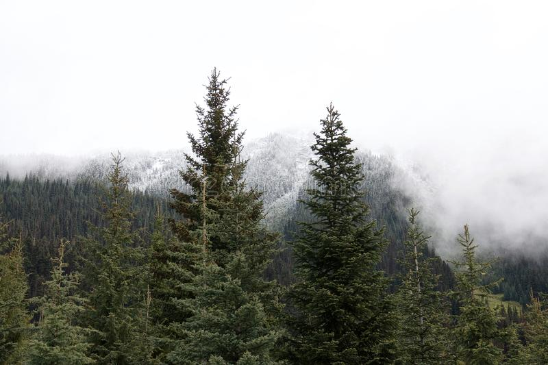Härlig vintergrön gran och snö-korkade skogmaxima arkivfoton
