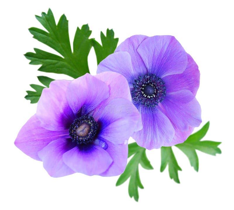 Härlig violett anemonblomma royaltyfri foto