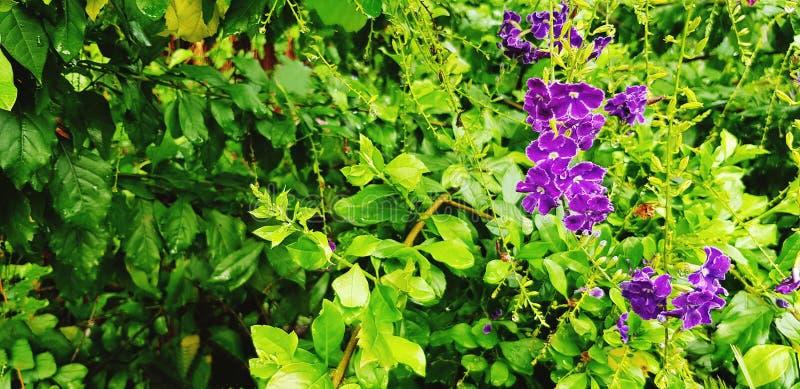 Härlig violett eller orkidéblomma för lilor, i blom- trädgård med suddig grön sidabakgrund royaltyfri foto