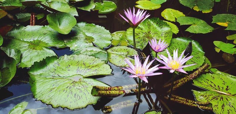Härlig violett eller purpurfärgad lotusblomma som blommar och växer med gröna sidor i vattenträdgård arkivbild