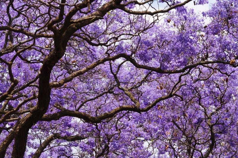 Härlig violett vibrerande jakaranda i blom royaltyfri foto