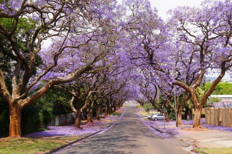 Härlig violett vibrerande jakaranda i blom royaltyfri bild