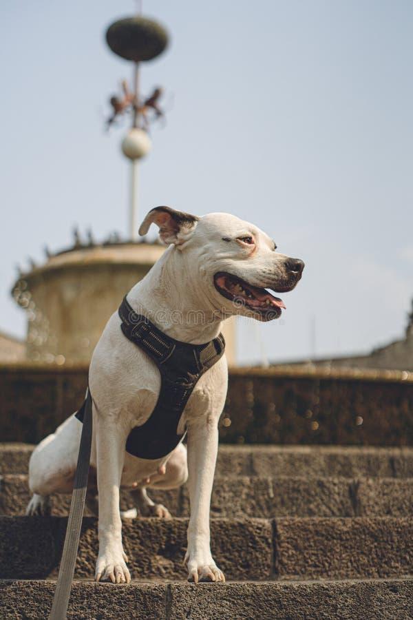 Härlig vit amerikansk bulldogg royaltyfria foton
