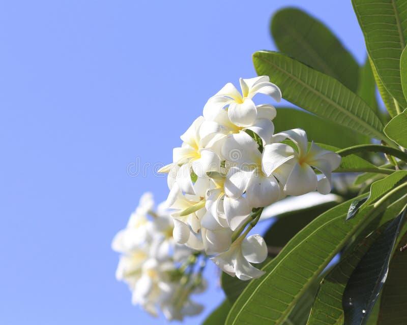 Härlig vit blomma i Thailand, LAN-thomblomma royaltyfri bild