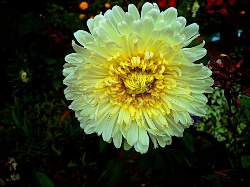 Härlig vit blomma i trädgård på mörk bakgrund royaltyfri foto