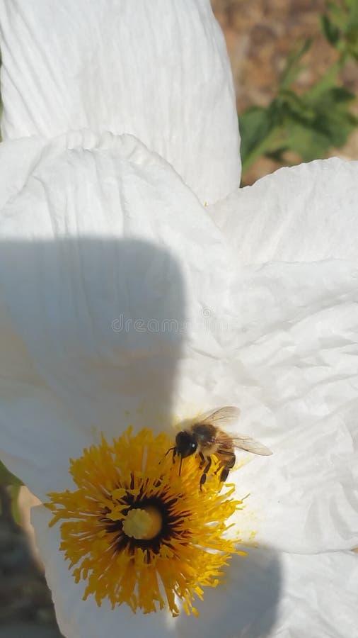Härlig vit blomma med biet i det royaltyfria bilder