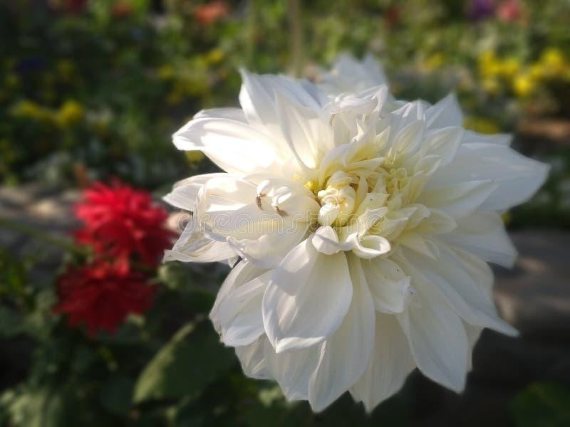 Härlig vit blomma med suddig bakgrund arkivfoton