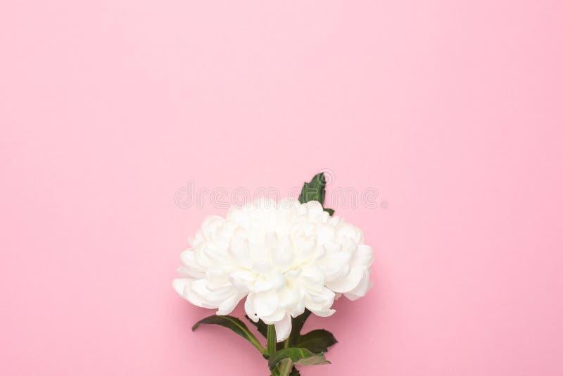 Härlig vit blomma på pastellfärgad rosa bakgrund med kopieringsutrymme för din text Modesommarfärg, lägger framlänges för royaltyfri foto